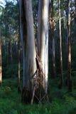 山脉灰玉树- Kalorama,维多利亚,澳大利亚 免版税库存图片