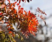 山脉灰的明亮的红色秋叶由太阳点燃了 免版税图库摄影