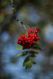 山脉灰莓果 库存图片