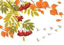 山脉灰,桦树槭树秋天分支  免版税库存图片