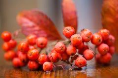 山脉灰(花揪)的湿果子和叶子在一张木桌上 浅深度的域 库存图片