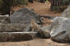 山脉野猫 免版税库存图片