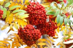 山花揪果子ashberries 秋天收获静物画场面 软的焦点被弄脏的背景摄影 免版税库存照片