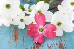 山茱萸开花桃红色白色 库存图片