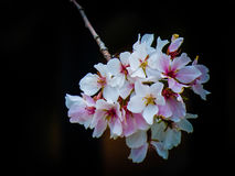 山茱萸开花 库存图片