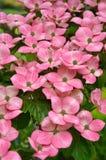 山茱萸开花kousa粉红色 图库摄影