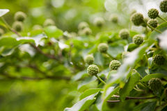 山茱萸种子头 库存照片