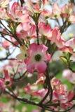 山茱萸粉红色 库存照片