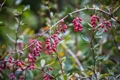 山茱萸莓果 乔治亚,高加索 库存照片