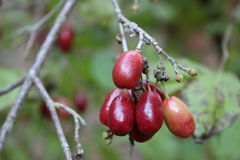 山茱萸莓果 库存图片