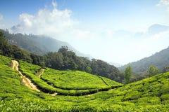 山茶园在印度 免版税库存照片