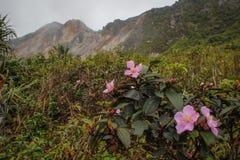 山茶花与桃红色花的sasanqua绽放 免版税库存图片