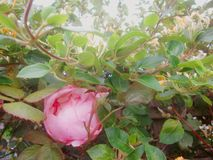 山茶花和忍冬属植物2 库存照片