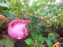 山茶花和忍冬属植物3 免版税库存图片