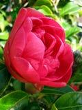 山茶花在庭院里 图库摄影