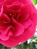 山茶花在庭院里 免版税库存照片