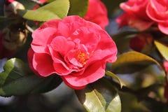 山茶花在Zheshan公园,芜湖 免版税库存照片