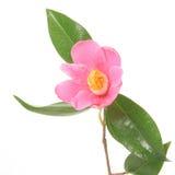 山茶花粉红色 免版税图库摄影