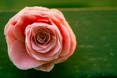 山茶花,在石头,关闭的开花的花蕾,五颜六色和生动的植物,自然本底模板 库存图片