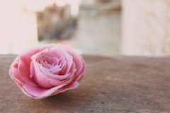 山茶花,在石头,关闭的开花的花蕾,五颜六色和生动的植物,自然本底模板 库存照片