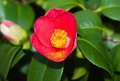 山茶花Japonica在3月 免版税库存图片
