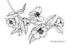 山茶花Japonica开花图画和剪影 向量例证