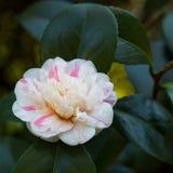 山茶花japonica '延命菊吉龙'; 图库摄影