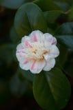 山茶花japonica '延命菊吉龙'; 免版税库存图片