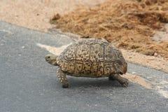 山草龟 库存照片