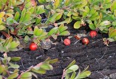山莓果春天在这里! 免版税库存照片