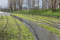 山葵庄稼的耕种 免版税库存图片