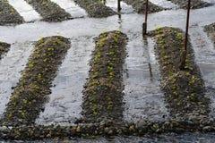 山葵种植园 库存照片
