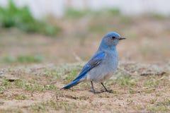 山蓝鸫(北美产蓝知更鸟currucoides) 免版税库存图片