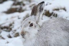 山野兔在它的冬天白色外套的天兔座timidus在雪飞雪高在苏格兰山 图库摄影