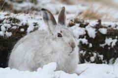 山野兔在它的冬天白色外套的天兔座timidus在雪飞雪高在苏格兰山 免版税库存照片