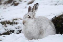 山野兔在它的冬天白色外套的天兔座timidus在雪飞雪高在苏格兰山 免版税图库摄影