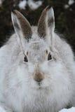 山野兔在它的冬天白色外套的天兔座timidus在雪,高在苏格兰山 免版税库存照片