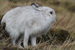 山野兔在它的冬天白色外套的天兔座timidus高在有苏格兰的山舒展 图库摄影
