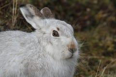 山野兔在它的冬天白色外套的天兔座timidus,高在苏格兰山 免版税图库摄影