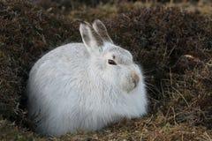 山野兔在它的冬天白色外套的天兔座timidus,高在苏格兰山 库存图片