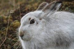 山野兔在它的冬天白色外套的天兔座timidus,高在苏格兰山 免版税库存照片