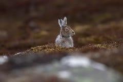 山野兔在春天换毛开会和凝视的天兔座timidus紧密在cairngorms NP,在4月期间的苏格兰上升 免版税库存图片