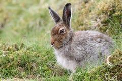 山野兔在采取在`形式`的苏格兰的高地的天兔座timidus风雨棚,是在Th的浅消沉 库存图片
