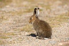 年轻山野兔天兔座取暖在秋天太阳的光芒的Timidus 寒带草原野兔或白色野兔在nat的夏天Pelage 免版税库存照片