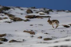 山野兔,天兔座timidus,在仍然10月期间在cairngorms NP的雪围拢的夏天外套,苏格兰 免版税库存图片