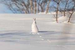 山野兔,天兔座timidus,在冬天pelage,坐与它的往照相机的后面,看起来正确,在多雪 库存图片