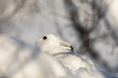 山野兔,天兔座timidus,在冬天pelage,掩藏在多雪的冬天风景在Setesdal,挪威 免版税库存照片