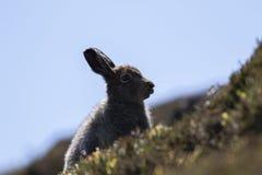 山野兔,天兔座timidus,坐一个山坡在阳光下, cairngorms国家公园,苏格兰 免版税图库摄影