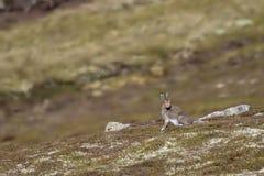 山野兔,天兔座timidus,坐一个山坡在阳光下, cairngorms国家公园,苏格兰 库存图片