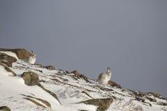 山野兔,天兔座timidus,坐在雪在一个倾斜在cairngorm国家公园在冬天期间, 2月 免版税库存照片
